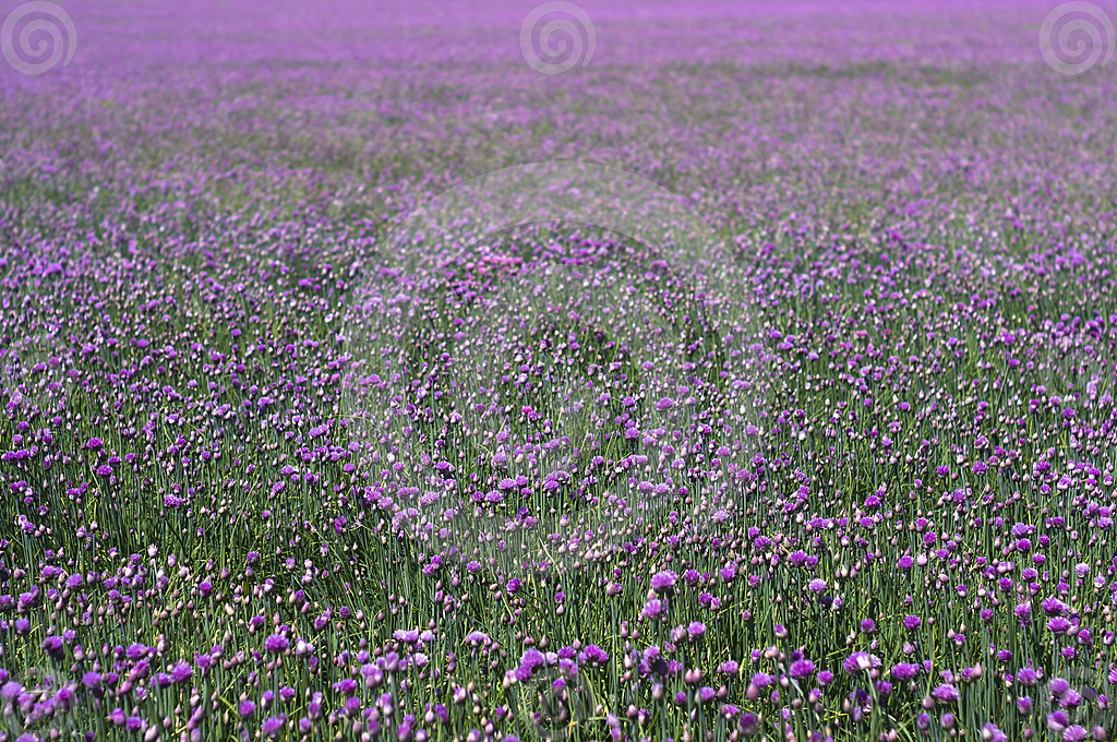 Picture of chives field