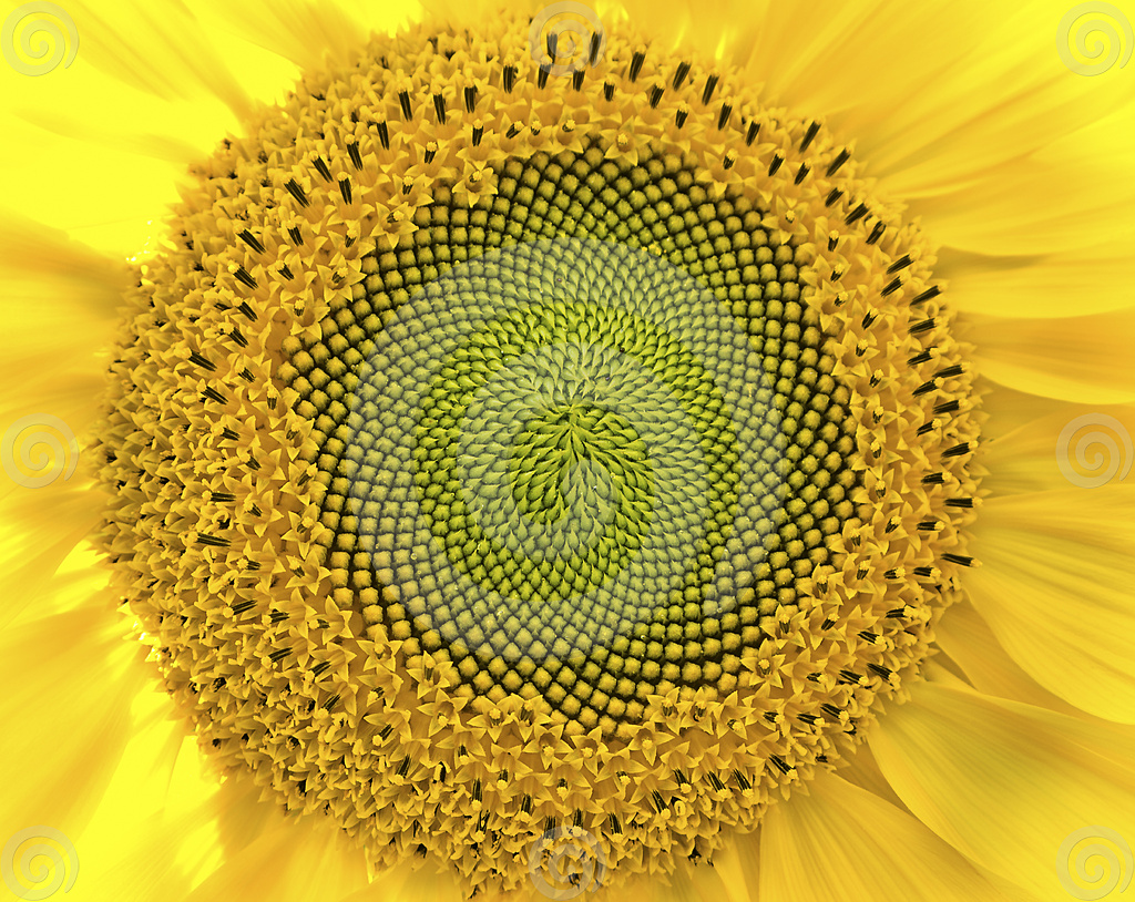 sunflower-close-up